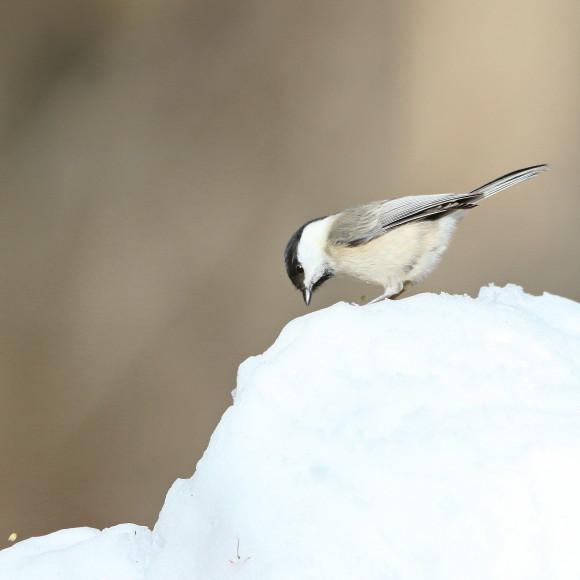 残雪にコガラ   STK_d0346713_16505079.jpg