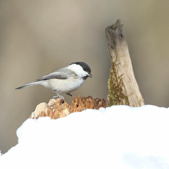 残雪にコガラ   STK_d0346713_16511237.jpg