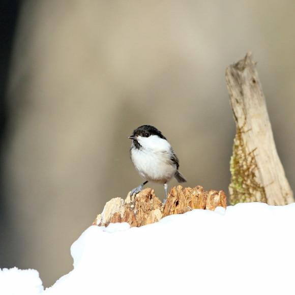 残雪にコガラ   STK_d0346713_16514226.jpg