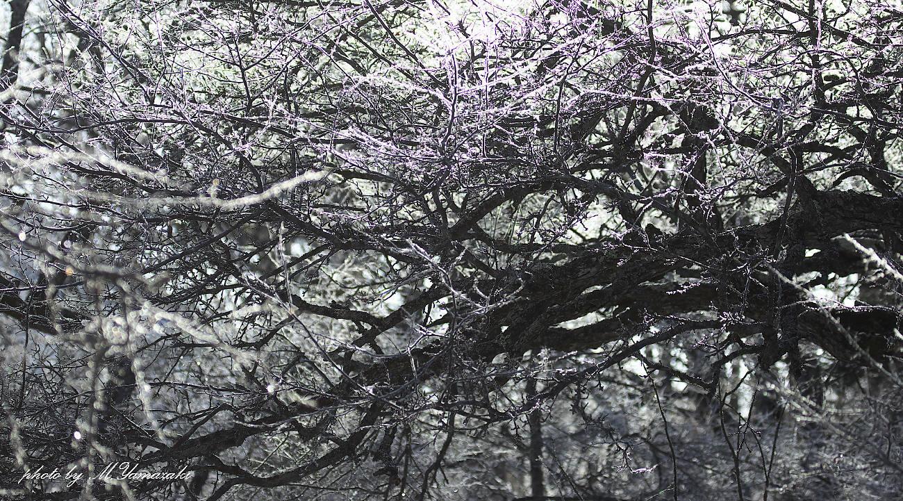 樹氷とマヒワ_c0217255_06090375.jpg