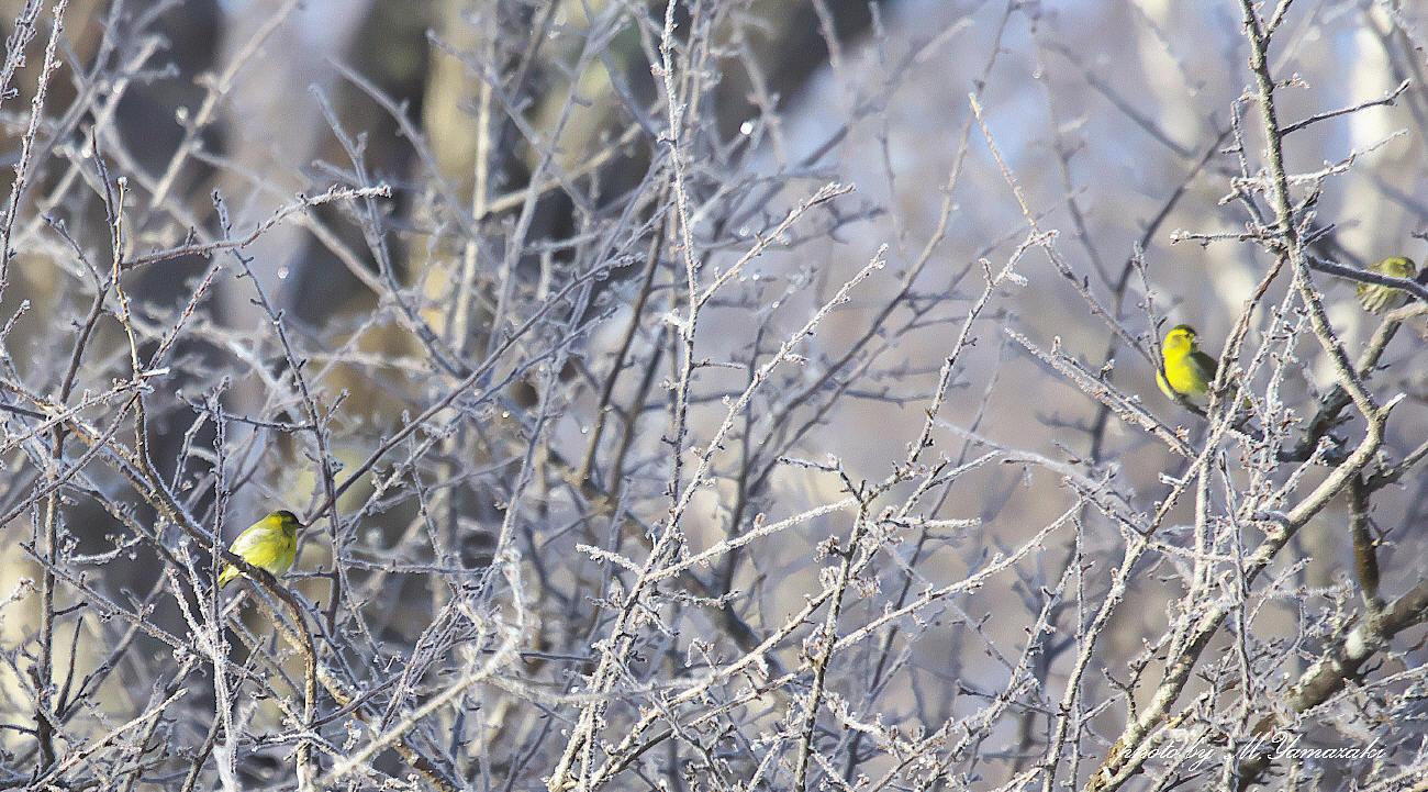 樹氷とマヒワ_c0217255_06091321.jpg