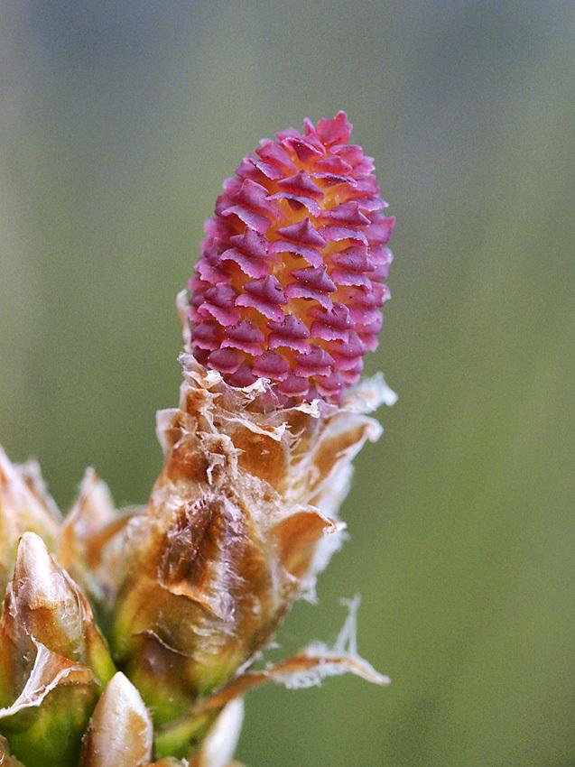 ハンノキの花から果実_d0163696_19272435.jpg