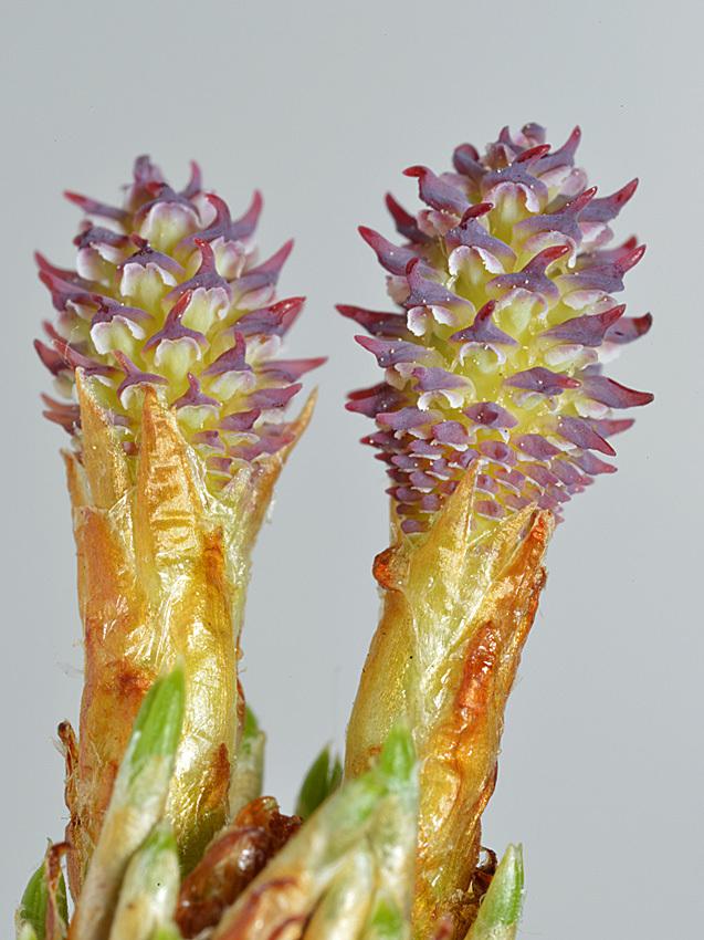 ハンノキの花から果実_d0163696_19273172.jpg