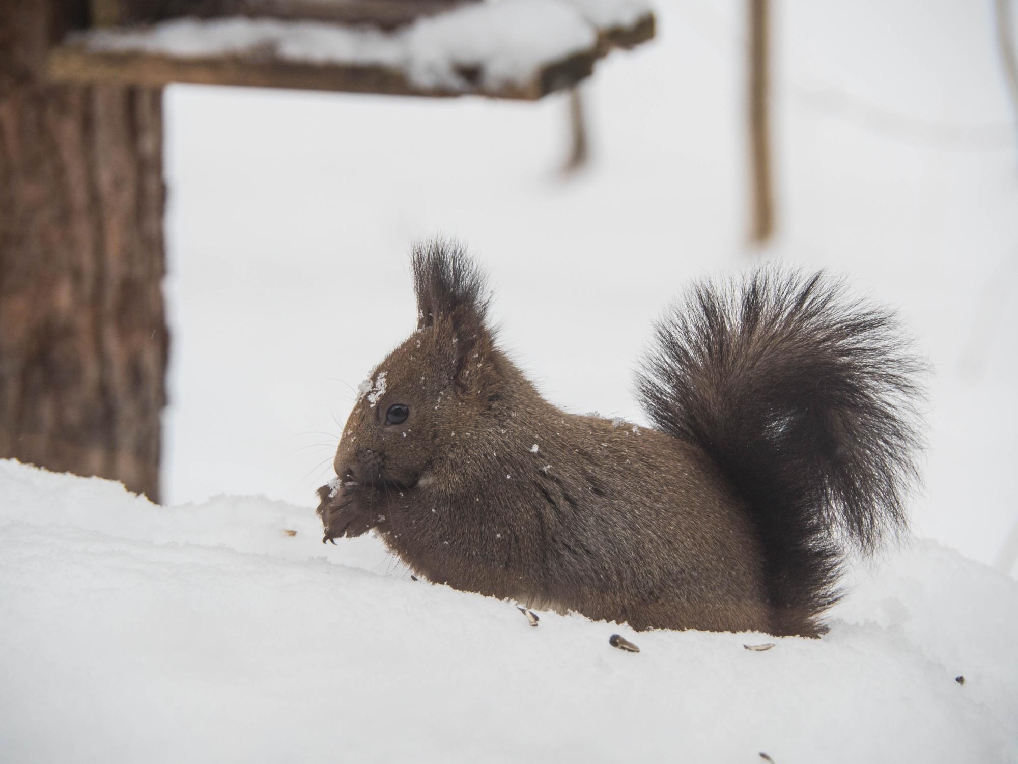 """ついに雪のスイッチが入ったかな?ひさびさの""""雪リス""""_f0276498_23510736.jpg"""