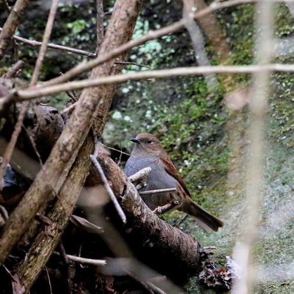 この林道で初見のカヤクグリ   HNR_d0346713_20400755.jpg