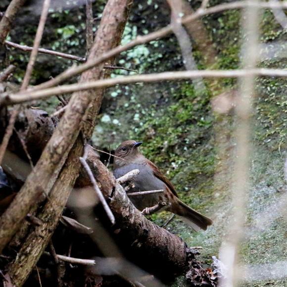 この林道で初見のカヤクグリ   HNR_d0346713_20402060.jpg