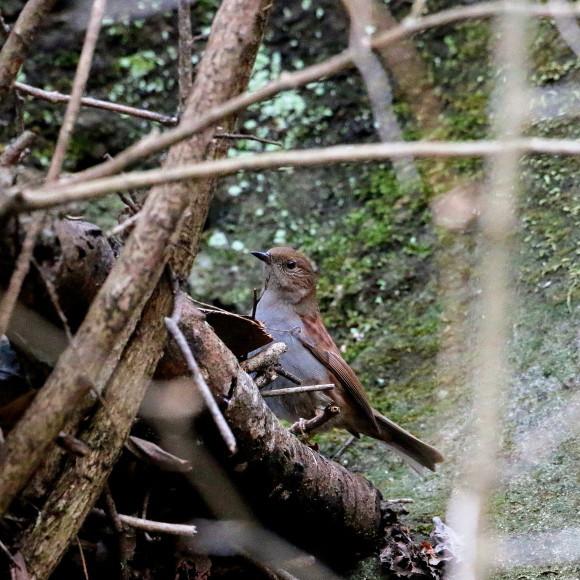 この林道で初見のカヤクグリ   HNR_d0346713_20403068.jpg