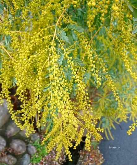 2/7(木)①    春待つ空とミモザ。_d0362666_10534889.jpg