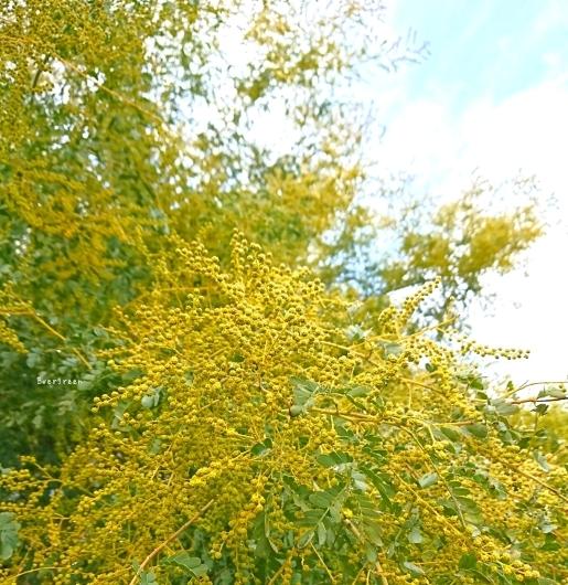 2/7(木)①    春待つ空とミモザ。_d0362666_10542656.jpg
