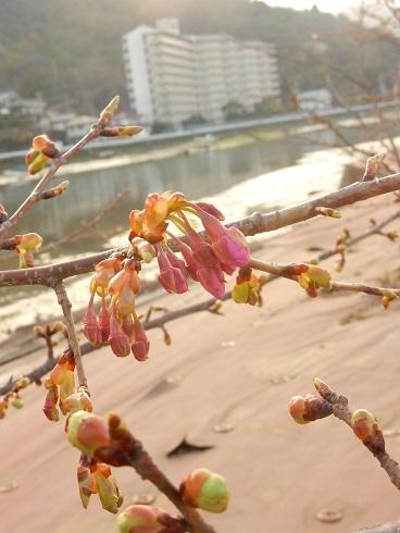 立春を待ち、桜のつぼみが膨らむ_e0175370_22425481.jpg
