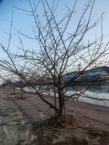 立春を待ち、桜のつぼみが膨らむ_e0175370_22430950.jpg