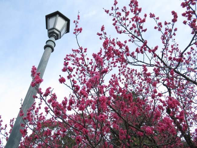 京都御苑 梅が盛りを迎えた_e0048413_22101453.jpg