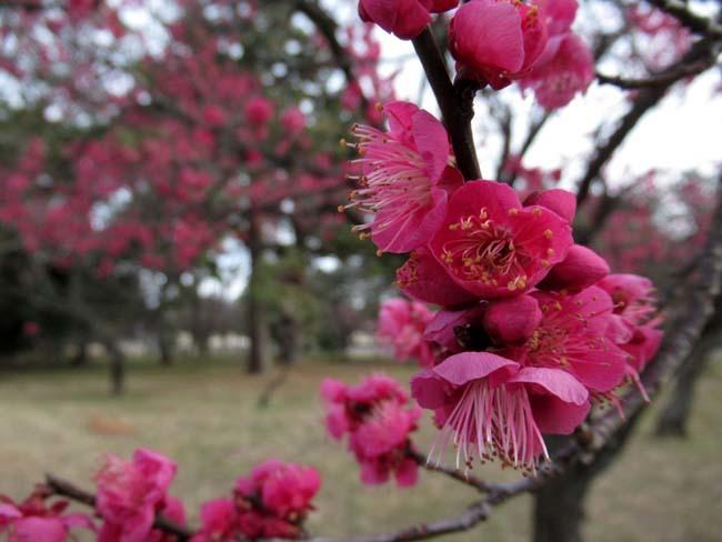 京都御苑 梅が盛りを迎えた_e0048413_22101806.jpg