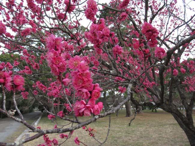 京都御苑 梅が盛りを迎えた_e0048413_22102714.jpg