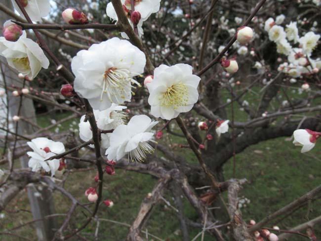 京都御苑 梅が盛りを迎えた_e0048413_22103269.jpg