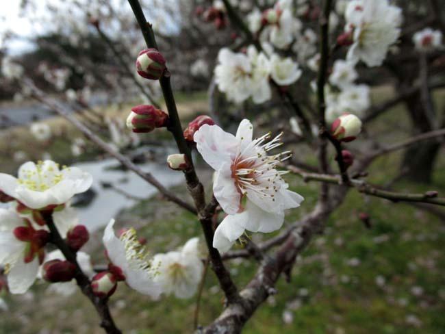京都御苑 梅が盛りを迎えた_e0048413_22105764.jpg