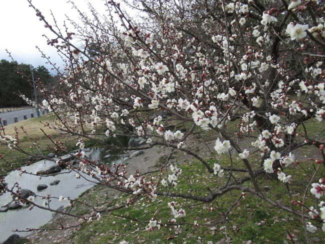 京都御苑 梅が盛りを迎えた_e0048413_22121239.jpg