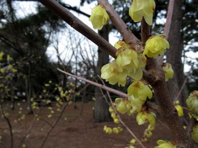 京都御苑 梅が盛りを迎えた_e0048413_22121621.jpg