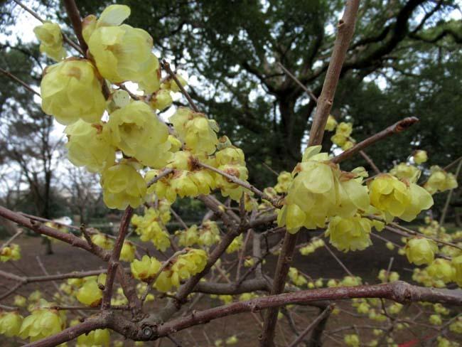 京都御苑 梅が盛りを迎えた_e0048413_22122036.jpg
