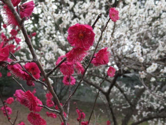 京都御苑 梅が盛りを迎えた_e0048413_22122353.jpg