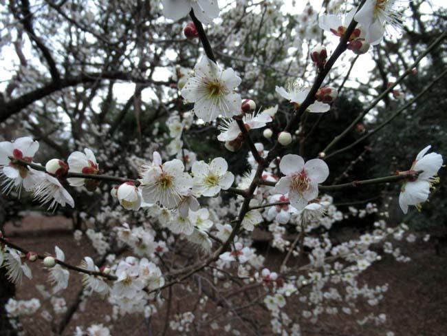 京都御苑 梅が盛りを迎えた_e0048413_22123062.jpg