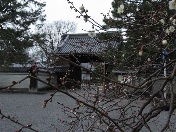 京都御苑 梅が盛りを迎えた_e0048413_22123495.jpg