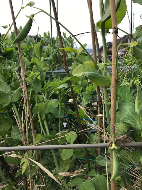 昨年より2カ月以上早くスナップエンドウ収穫2・7_c0014967_19051250.jpg