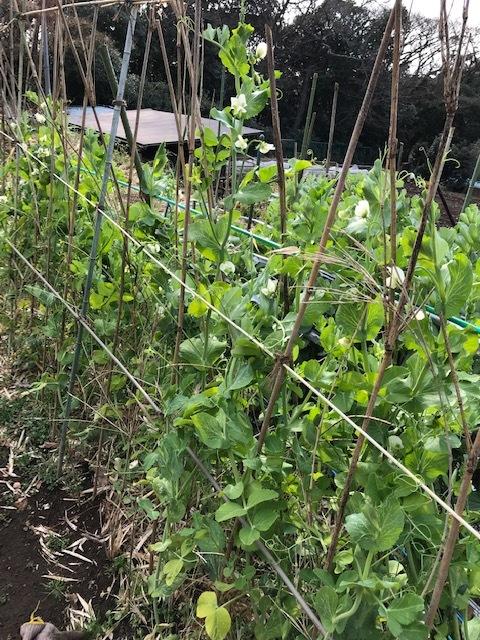 昨年より2カ月以上早くスナップエンドウ収穫2・7_c0014967_19060027.jpg