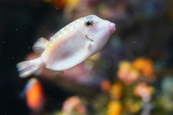 新江ノ島水族館はバレンタイン セクシーなハコフグちゃん _b0145398_22202574.jpg