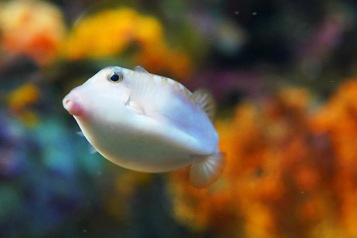 新江ノ島水族館はバレンタイン セクシーなハコフグちゃん _b0145398_22203827.jpg