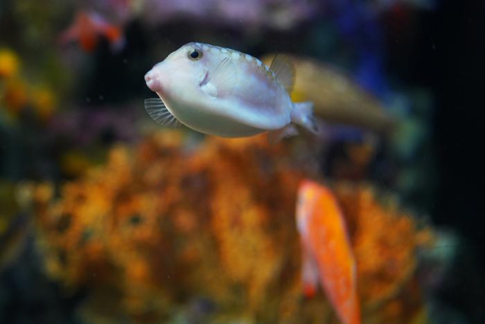 新江ノ島水族館はバレンタイン セクシーなハコフグちゃん _b0145398_22205423.jpg