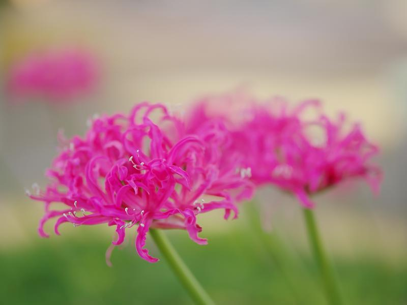 機材整理 その73:SIGMA 56mm F1.4 DC DN | Contemporary Part5 ~ボケ具合 花~_d0087407_23361471.jpg