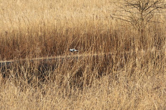 ハイイロチュウヒその18(遥か遠く葦原を飛ぶ)_f0239515_1856525.jpg