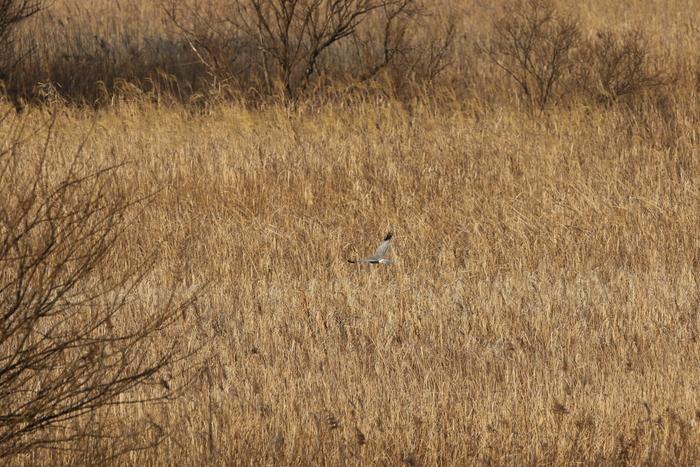 ハイイロチュウヒその18(遥か遠く葦原を飛ぶ)_f0239515_18573989.jpg