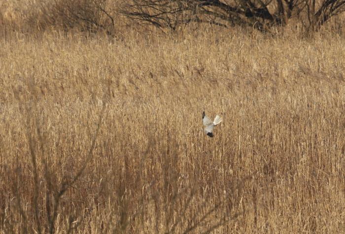 ハイイロチュウヒその18(遥か遠く葦原を飛ぶ)_f0239515_1902191.jpg
