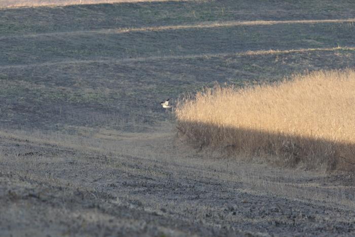 ハイイロチュウヒその18(遥か遠く葦原を飛ぶ)_f0239515_1904481.jpg