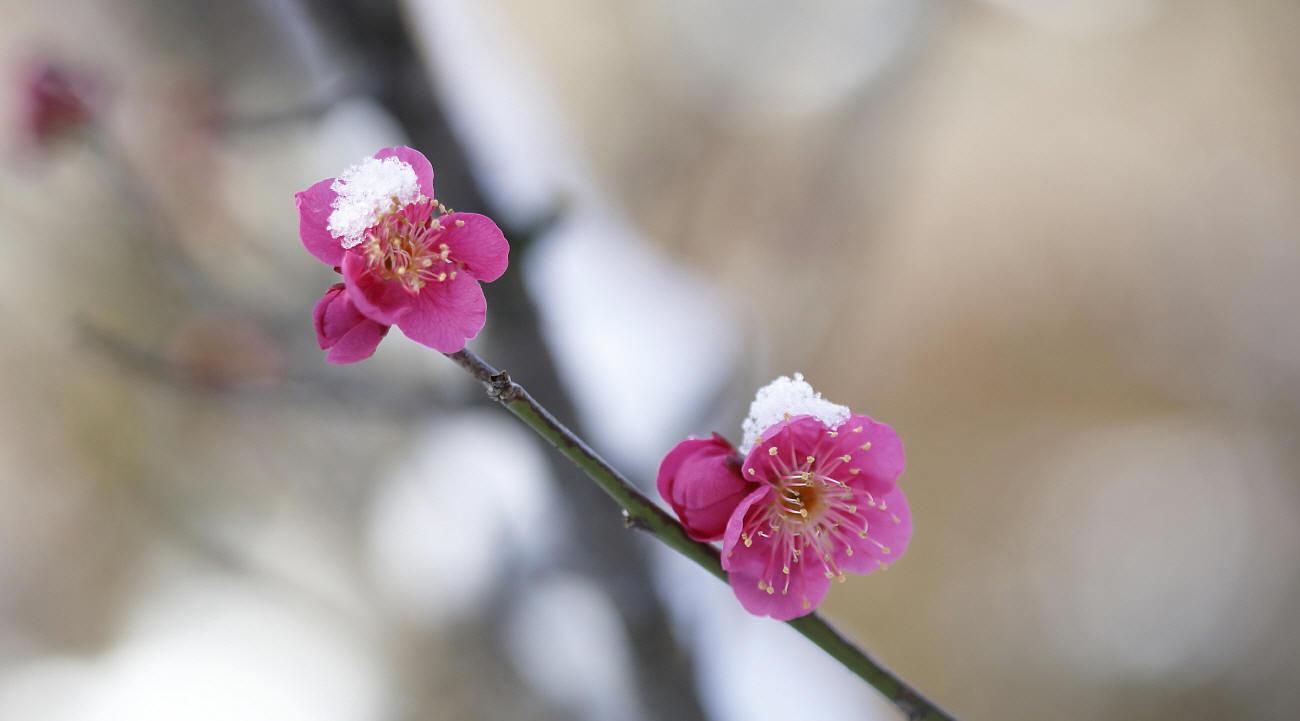 雪中梅とルリビタキ_c0217255_15534230.jpg