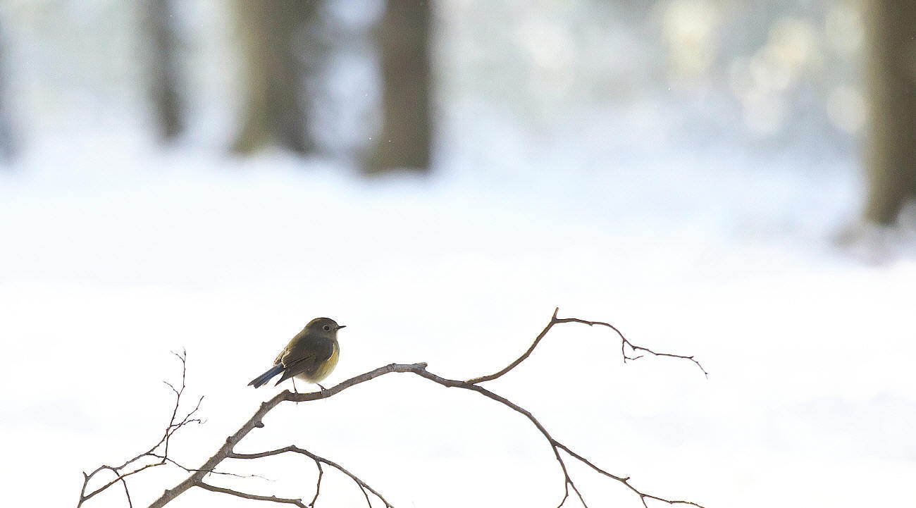 雪中梅とルリビタキ_c0217255_15542818.jpg