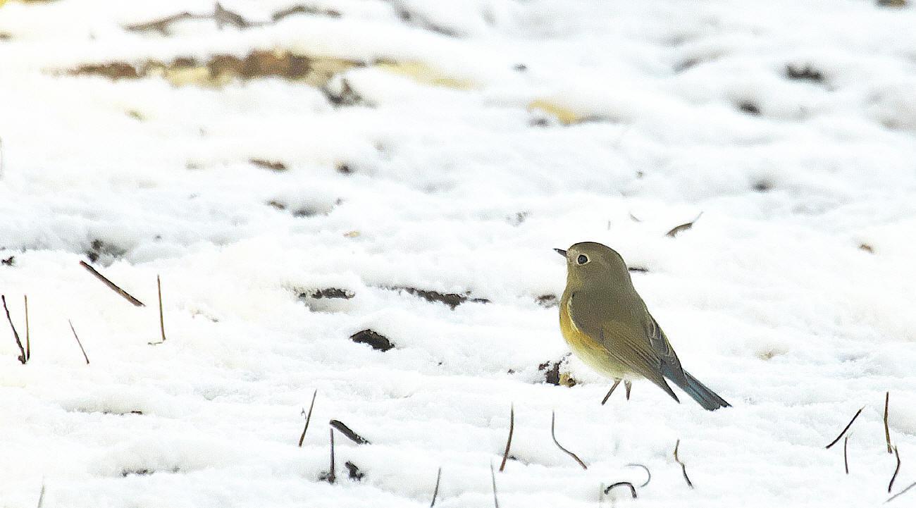 雪中梅とルリビタキ_c0217255_15543315.jpg