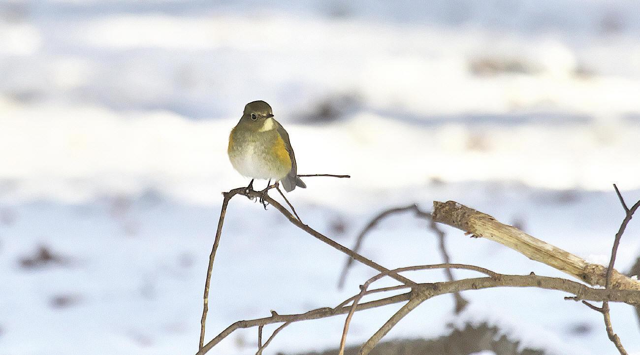 雪中梅とルリビタキ_c0217255_15550759.jpg