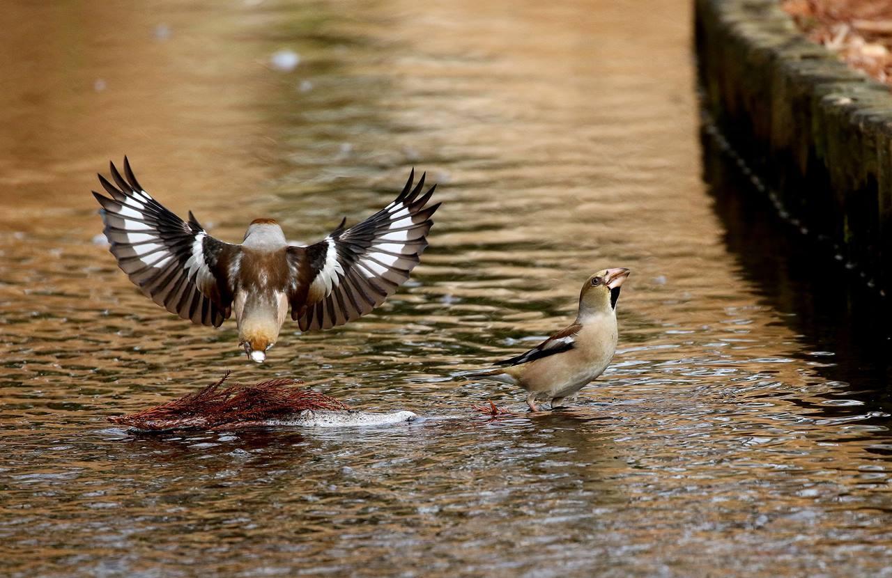 小さな水路でシメ、イカルの群れが(その1)・・・_c0213607_12112406.jpg