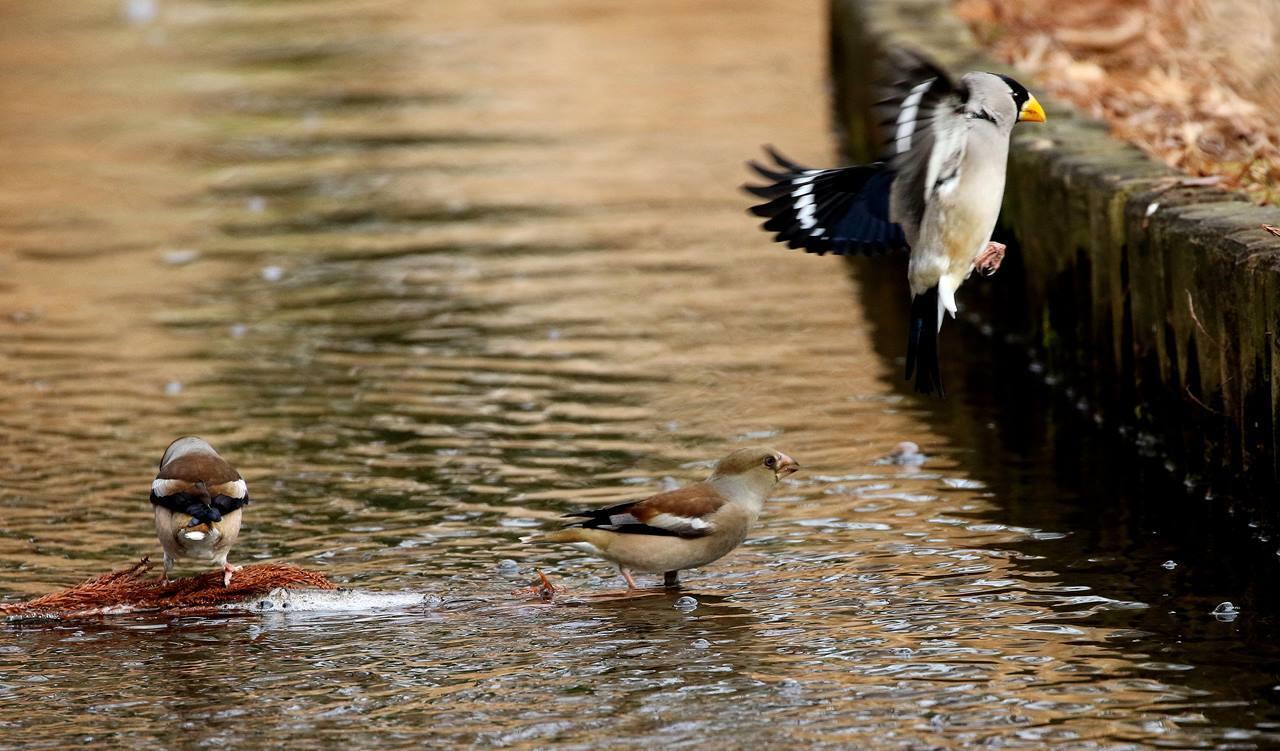小さな水路でシメ、イカルの群れが(その1)・・・_c0213607_12113554.jpg