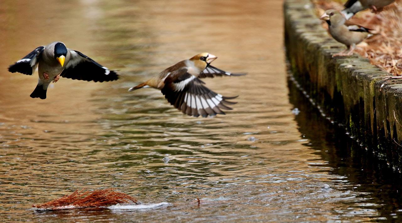 小さな水路でシメ、イカルの群れが(その1)・・・_c0213607_12113971.jpg