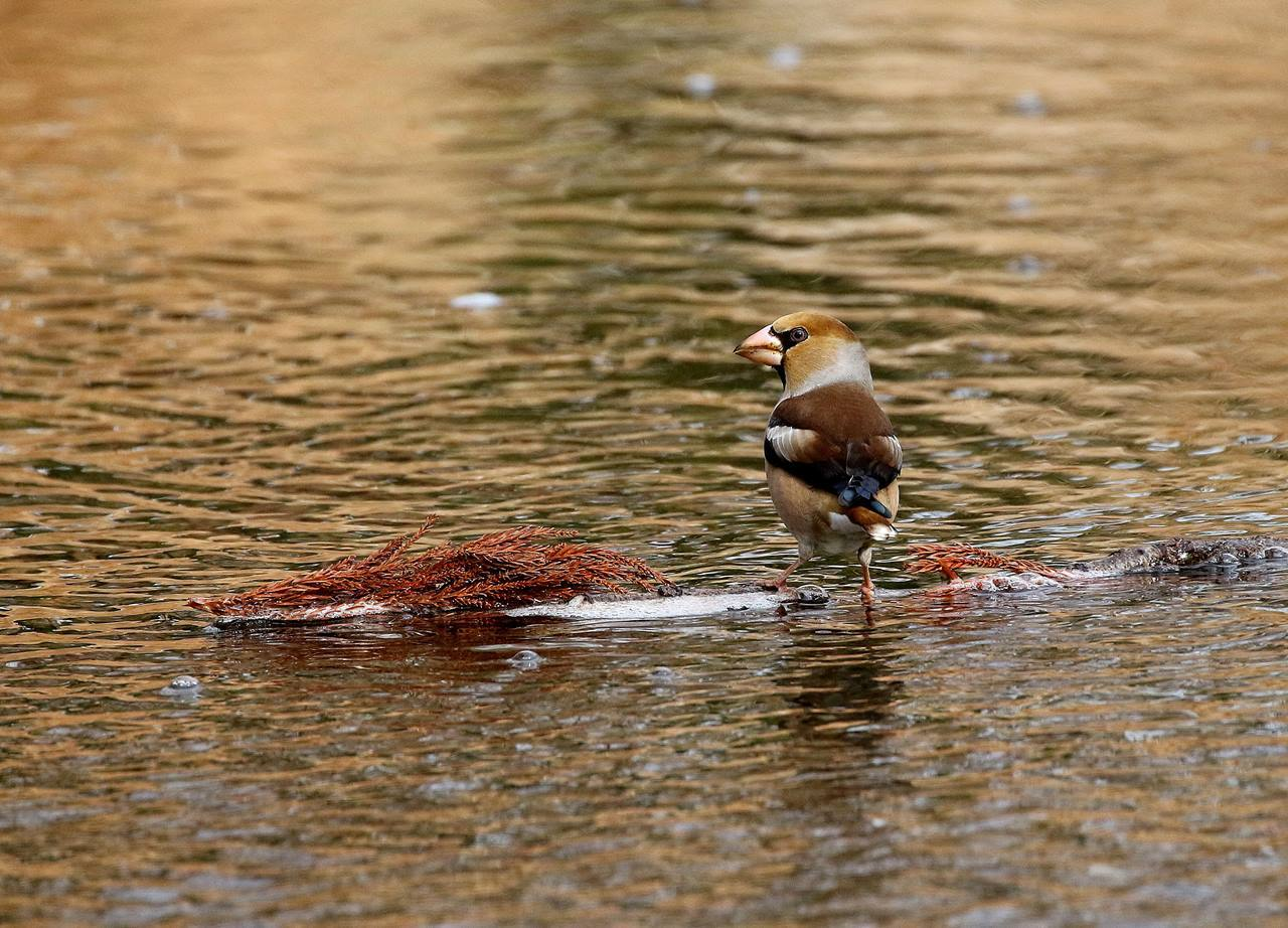 小さな水路でシメ、イカルの群れが(その1)・・・_c0213607_12121925.jpg