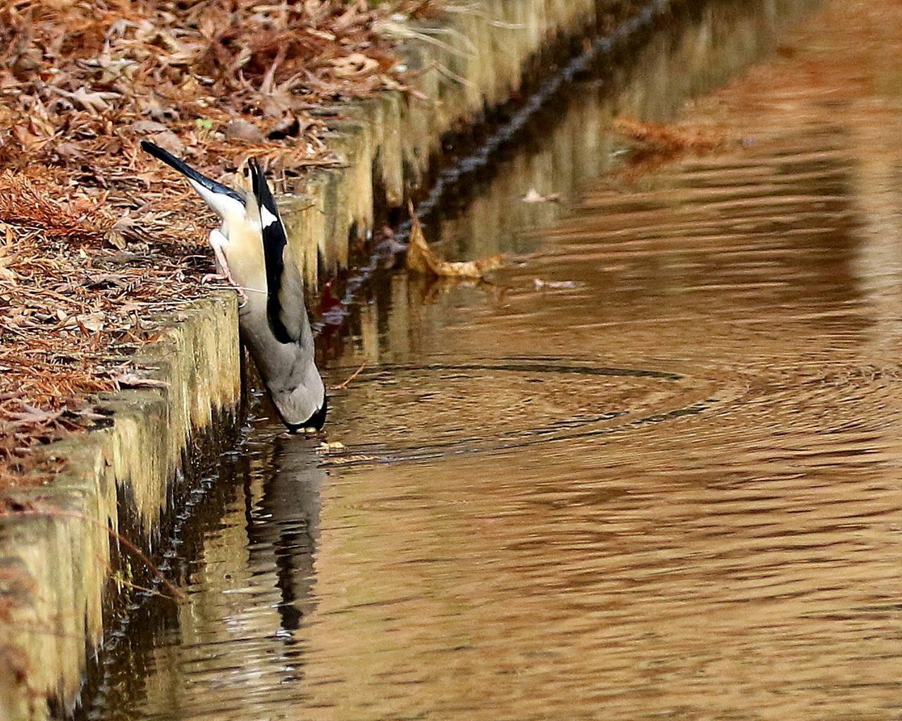小さな水路でシメ、イカルの群れが(その1)・・・_c0213607_12122707.jpg