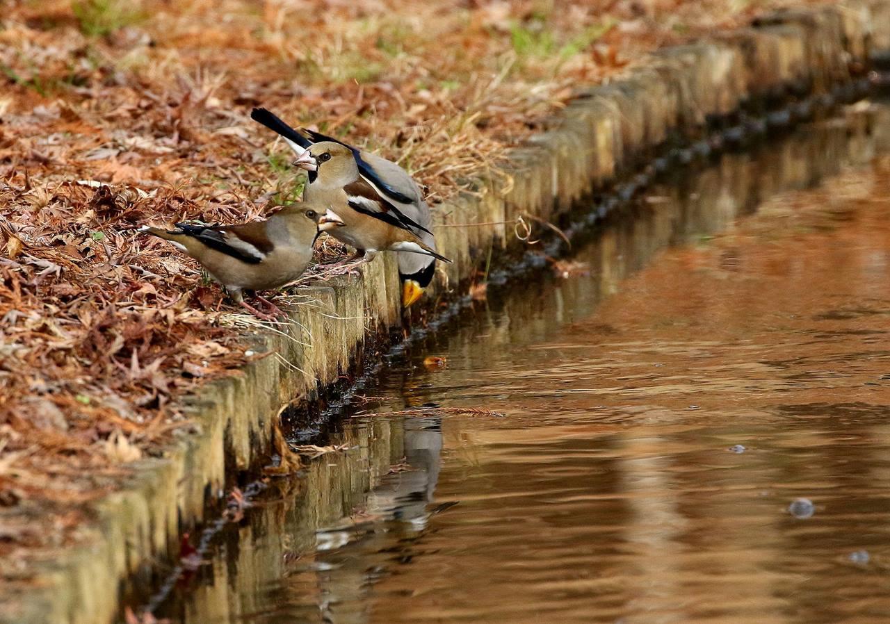 小さな水路でシメ、イカルの群れが(その1)・・・_c0213607_12123084.jpg