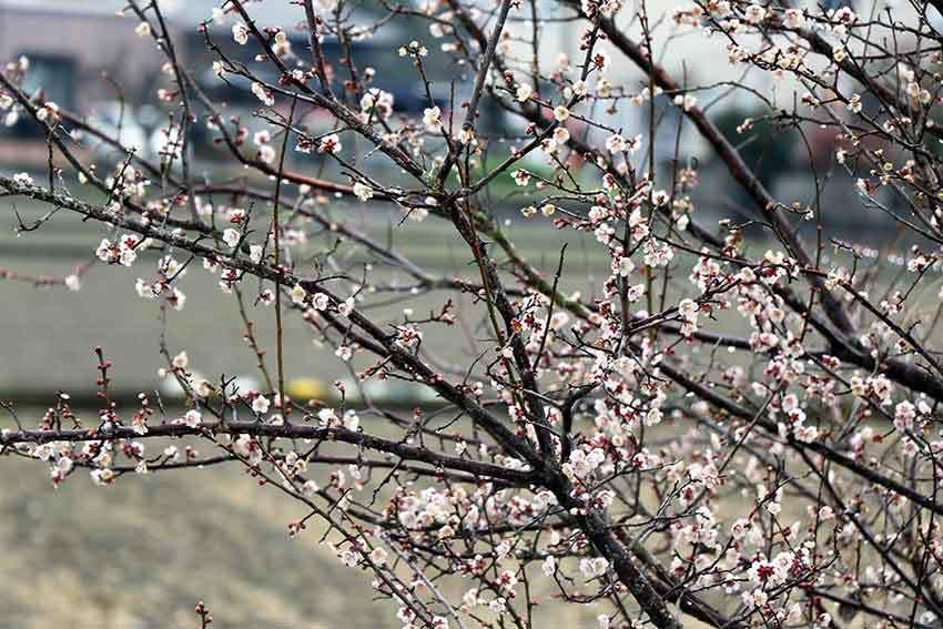 2019年2月11日「平成の大嘗祭における麁服の調進」♪_d0058941_20324859.jpg
