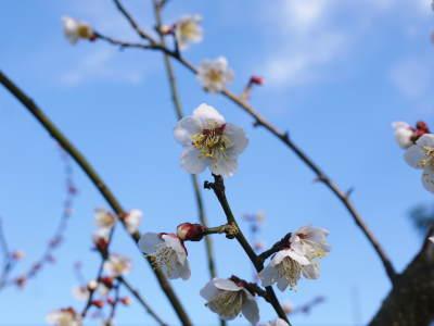 山あいの南高梅 花咲く様子!今年はかなり開花が早いんです!!_a0254656_17023647.jpg