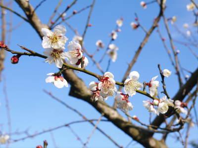 山あいの南高梅 花咲く様子!今年はかなり開花が早いんです!!_a0254656_17045089.jpg
