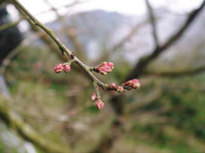 山あいの南高梅 花咲く様子!今年はかなり開花が早いんです!!_a0254656_17191243.jpg